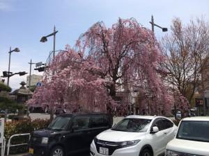 善光寺近くの駐車場から見た枝垂れ桜。こちらも満開でした。